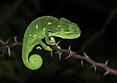 Indian Chameleon ( Chamaeleo zeylanicus) was taken near Pune, India