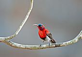 Vigors's sunbird or western crimson sunbird (Aethopyga vigorsii) in Goa, India