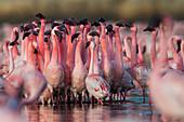 Lesser flamingo (Phoenicoparrus minor) courtship dance in Gujurat, India