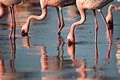 Lesser flamingo (Phoenicoparrus minor) feeding in Gujurat, India
