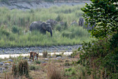 Tiger (Panthera tigris) and asiatic elephants in Corbett national park, India