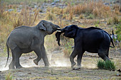 Asiatic elephant (Elephas maximus) tusker fighting in Corbett national park, India