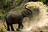 Asiatic elephant (Elephas maximus) young Tusker doing mudbath in  Corbett national park, India