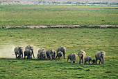 Asiatic elephant (Elephas maximus) herd in Corbett national park, India