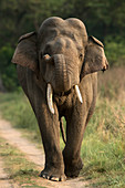 Big Tusker Asiatic elephant (Elephas maximus)in Corbett national park, India