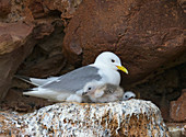 Black-legged Kittiwakes Rissa tridactyla in nest with young on ledge of Dunbar Castle Scottish borders.UK
