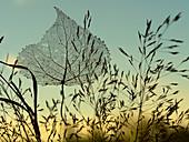 Black Poplar Populus nigra skeleton leaf caught in grass
