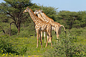 Angolan giraffe Giraffa giraffa angolensis northern Namibia. Head portrait