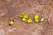 Euphorbia characias subsp. wulfenii spurge in garden with brick path