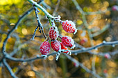 Frost On Rose Hips Canis vulgaris  Morning