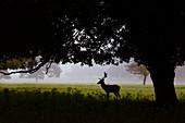 Fallow Deer Cervus dama buck standing under Holm oaks
