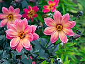 Dahlia 'Twyning's Revel' in garden border
