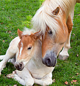 Haflinger horses mare and foal running in meadow