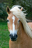Haflinger horses in Norfolk water meadows Near Aylsham in Bure Valley