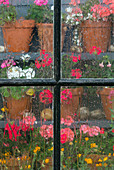 Potted Geraniums through garden shed window in rain