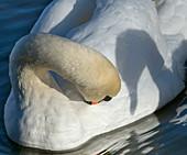 Mute Swan Cygnus olar preening and head shadow of another mute swan