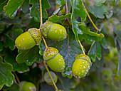 Oak Quercus robur Acorns in autumn