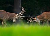 Red Deer Cervus elaphus stags fighting Holkham park Norfolk