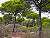 Stone pine Pinus pinea, also known as the Italian stone pine, umbrella pine and parasol pine Parque Nacional de Doñana, Almonte, Spain