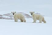Polar Bear\n(Ursus maritimus)\ncubs on sea ice\nSvalbard