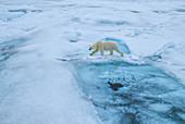 Polar Bear\n(Ursus arctos)\non sea ice\nSvalbard