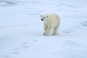 Polar Bear\n(Ursus maritimus)\nSvalbard