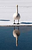 Whooper swan (Cygnus cygnus), Japan
