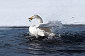 Whooper swan (Cygnus cygnus) bath, Japan