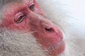 Japanese macaque or snow japanese monkey, portrait (Macaca fuscata), Japan