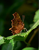 COMMA BUTTERFLY (Polygonia c-album)\nSussex, England