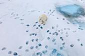 Polar Bear\n(Ursus arctos)\nwith footprints on sea ice\nSvalbard
