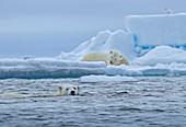 Polar Bear\n(Ursus arctos maritimus)\non pack ice guarding fresh seal kill\nSvalbard