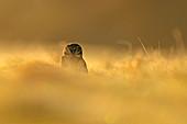 Steinkauz (Athene noctua) am frostigen Morgen wärmt scih im Grasland, Großbritannien