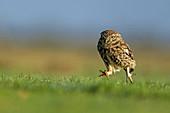 Little Owl\n(Athene noctua)\nworming on grassland\nUK