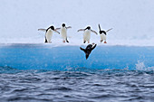 Adelie Penguin\n(Pygoscelis adeliae)\njumping off ice\nAntarctic Sound, Antarctica