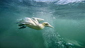 Gannet\n(Sula basada)\nfeeding underwater\nBempton Cliffs, UK
