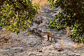 Bengal Tiger\n(Panthera tigris)\nin habitat\nRanthambhore, India