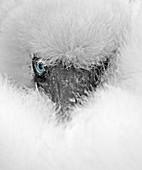 Nazca Booby\n(Sula granti)\nchick on nest\nEspanoila Galapagos
