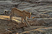 African Leopard\n(Panthera pardus)\nWalking across rocks\nMasai Mara, Africa