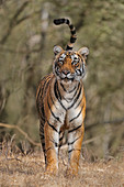 Bengal Tiger\n(Panthera tigris)\ntigress Arrowhead hunting\nRanthambhore, India