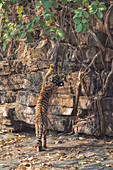 Bengal Tiger\n(Panthera tigris)\n3 month old cub playing\nRanthambhore, India