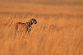 African Leopard\nin grassland\nMasai Mara, Africa