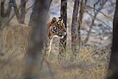 Bengal Tiger\n(Panthera tigris)\ntigress Noor hunting\nRanthambhore, India