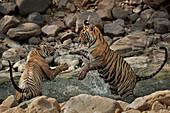 Bengal Tiger\n(Panthera tigris)\ncubs playing in waterhole in summer\nRanthambhore, India