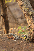 Bengal Tiger\n(Panthera tigris)\nfemale with cubs asleep in summer heat\nRanthambhore, India