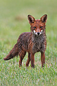 RED FOX (Vulpes vulpes) with wet fur after rain, Oxfordshire, UK, July.