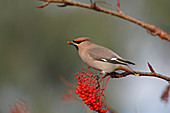 Waxwing (Bombycilla garrulus) eating Rowan berry on industrial estate North Wales UK November\n55821