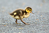 Mallard duckling, anas platyrhynchos, walking across a walking path at Manito Park in Spokane, Washington.