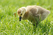 A Canadian Goose gosling, branta canadensis, walks in the grass at Manito Park in Spokane, Washington.
