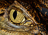 Close-up of a the eye of a Spectacled caiman (Caiman crocodilus) at a reptile house in Croatia, Europe